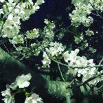 【都島の大川沿い】お花見に行ってきました。