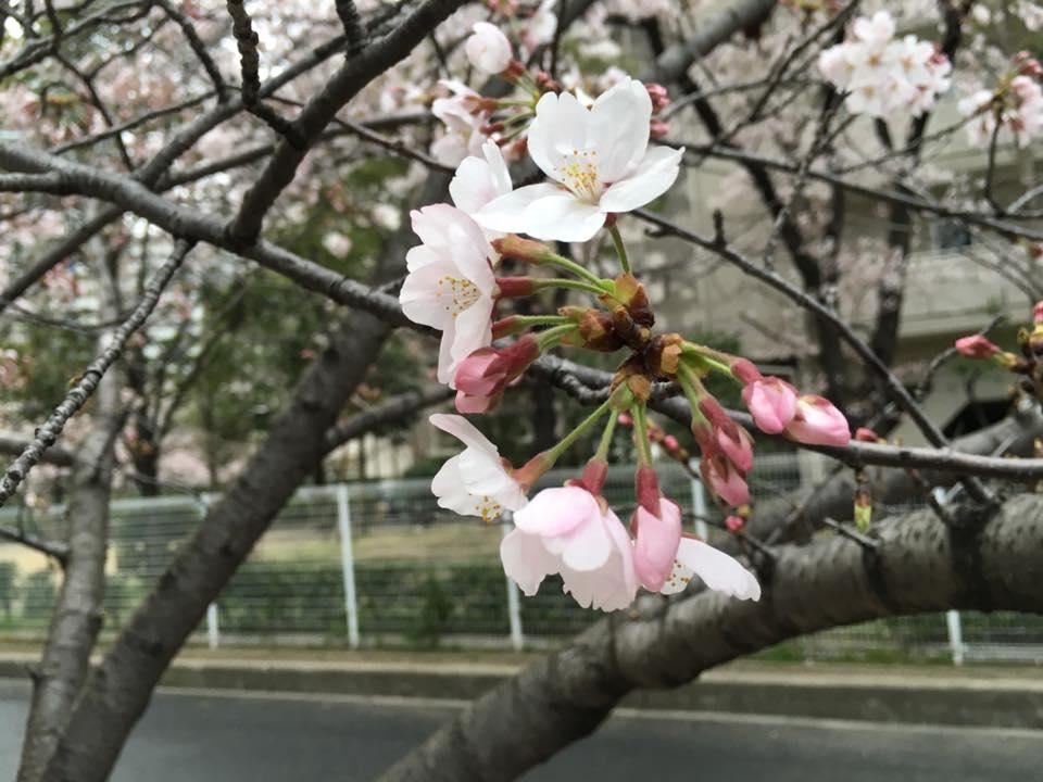 大阪市都島区 花見 桜