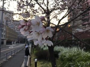大阪市都島区 桜 花見