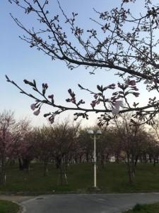 桜1 大阪市都島区 花見 大川