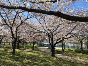 さくら3 桜 大川沿い 花見 大阪市都島区
