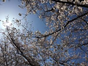 さくら2 桜 大川沿い 花見 大阪市都島区