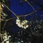 今年も桜は咲く。